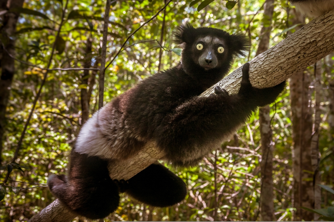 Indri Indri (Babakoto)