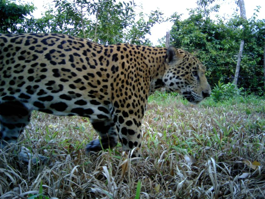 Jaguar in Big Falls Farm Belize near sugar plantation_Credit Panthera-UB ERI-BAS