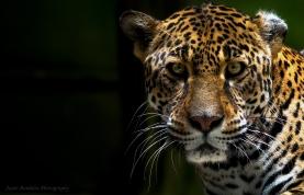 Jaguar_Jayro Bardales