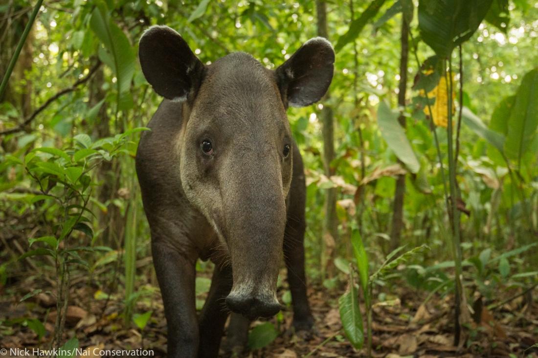 tapir - Credit Nick Hawkins